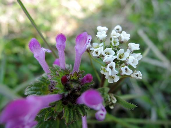 春の野草.jpg