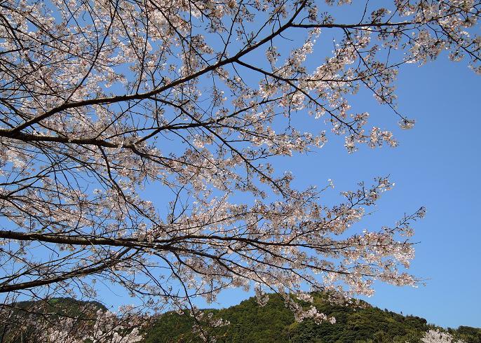 曲渕の桜.jpg