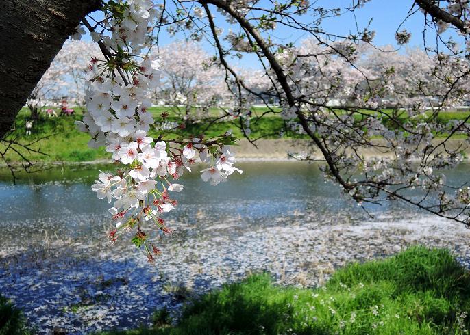 瑞梅寺川の桜.jpg