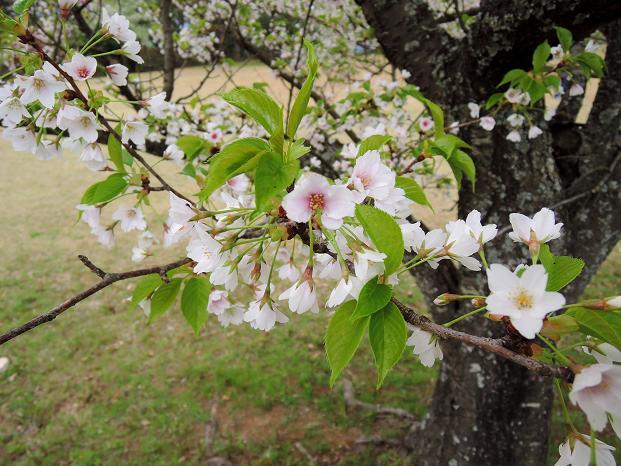 鏡山の桜3.jpg