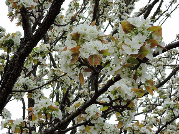 鏡山の桜4.jpg