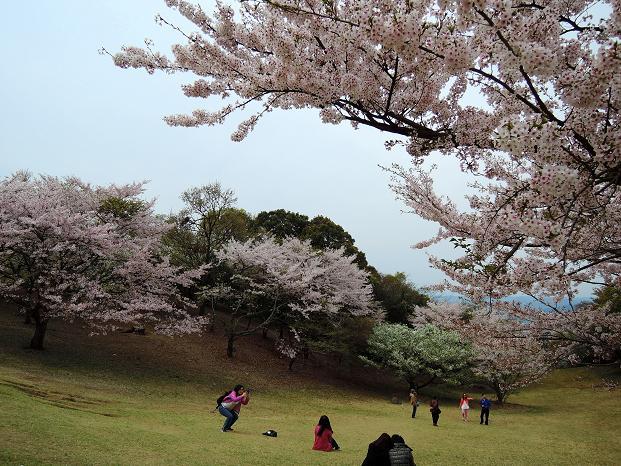 鏡山の桜5.jpg
