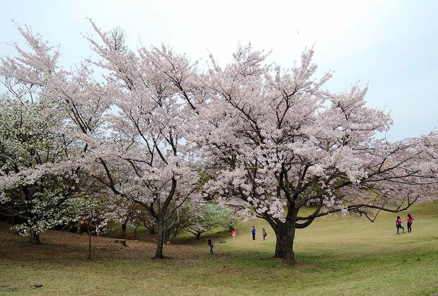 鏡山の桜6.jpg