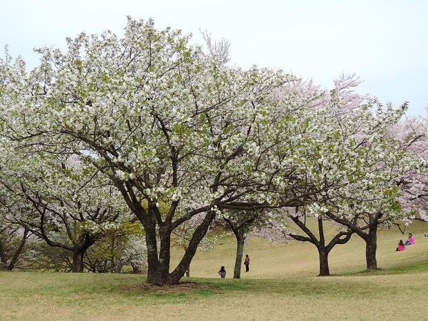鏡山の桜7.jpg