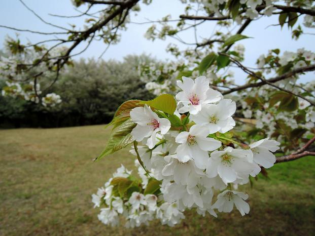 鏡山の桜8.jpg
